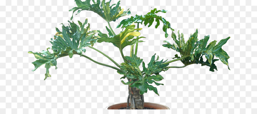 Philodendron Png - Philodendron scanaens png download - 732*384 - Free Transparent ...