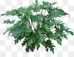 Philodendron Png - Philodendron Xanadu PNG and Philodendron Xanadu Transparent ...
