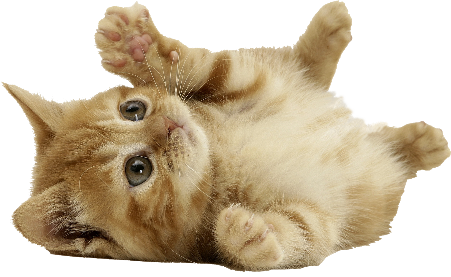 Pin By Dlpng On Cat Png Cute Baby Cats 1553700 Png Images Pngio