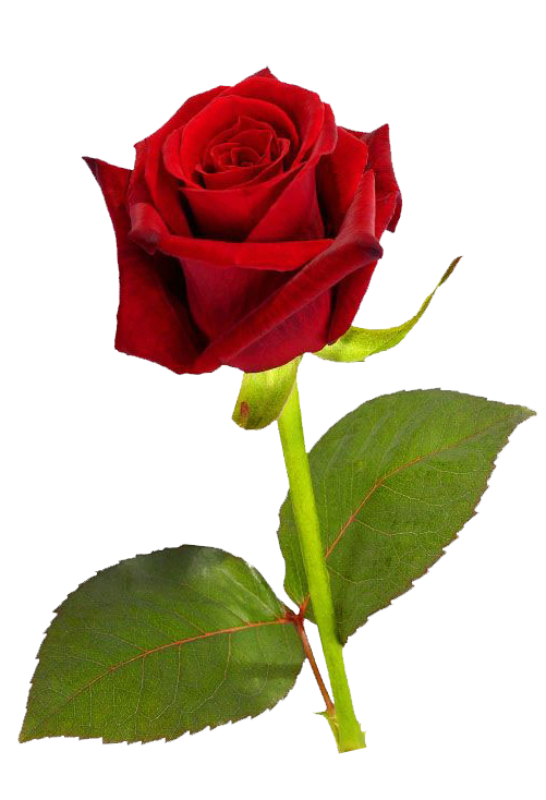 Tiny Rose Png - Pin by fadiyah muhammad on Clip Art - Png | Pinterest | Red roses, Single  red rose and Rose