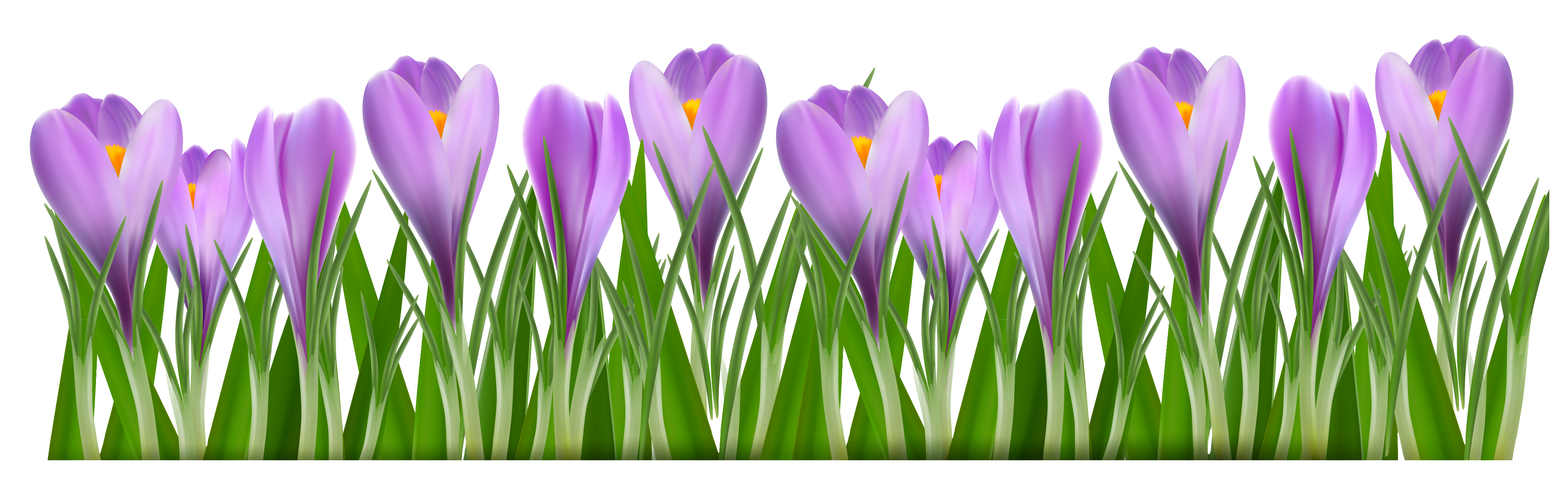 Spring Crocus Png - Pin by Jeanine Echevarria on Paint Shop Pro and Digital Scrap ...
