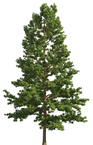 White Pine Png - Pin by rain amber on green | Tree photoshop, Watercolor trees ...