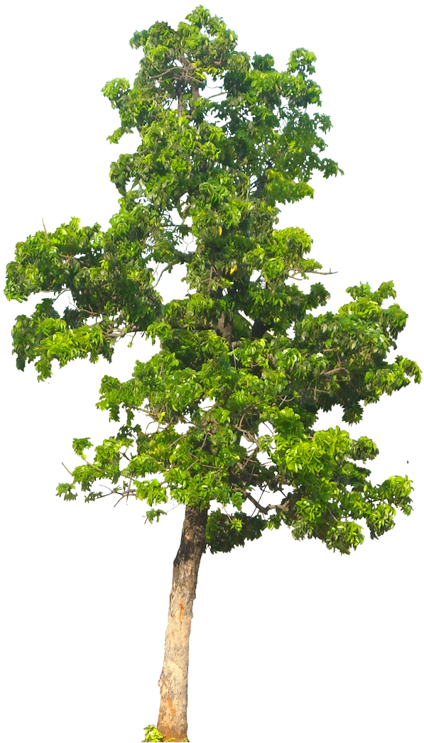 Png Tree Drawing Free Tree Drawing Png Transparent Images 12143 Pngio