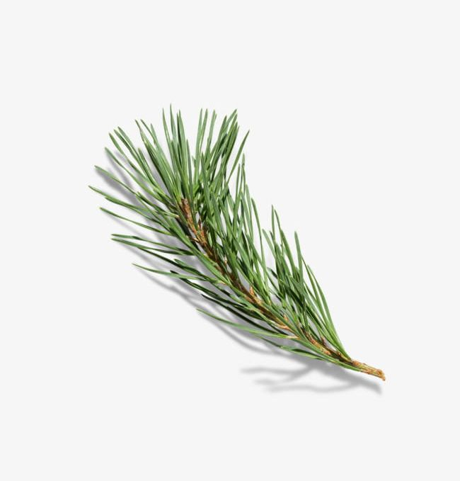 Free Pine Bough Png, Download Free Clip Art, Free Clip Art on Clipart  Library