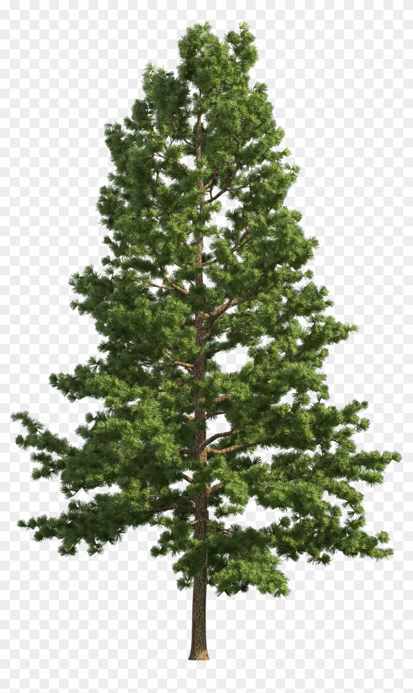 Transparent Pine Tree - Pine Realistic Tree Png Clip Art - Pine Tree Png Free, Transparent ...