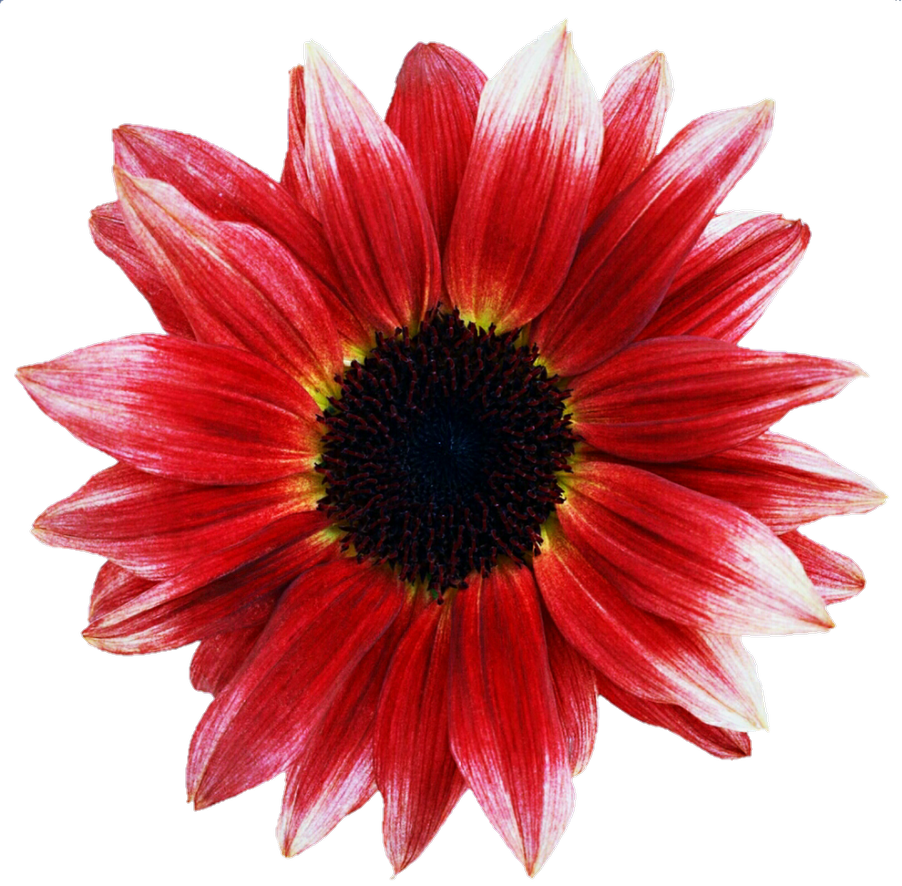 Pink Sunflowers Png - Pink and Red Sunflower by jeanicebartzen27 on DeviantArt