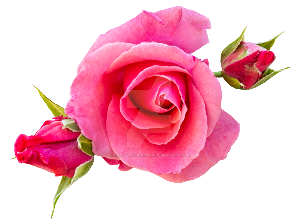 Tea Rose Png - Pink Roses PNG by Bunny-with-Camera on DeviantArt