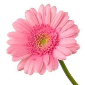 Pink Sunflowers Png - Pink sunflower png 3 » PNG Image