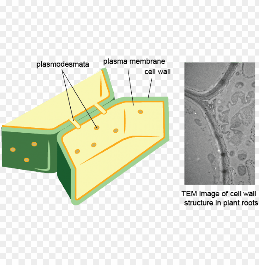 Plant Cell Wall Png - plant cell membrane and wall PNG image with transparent background ...