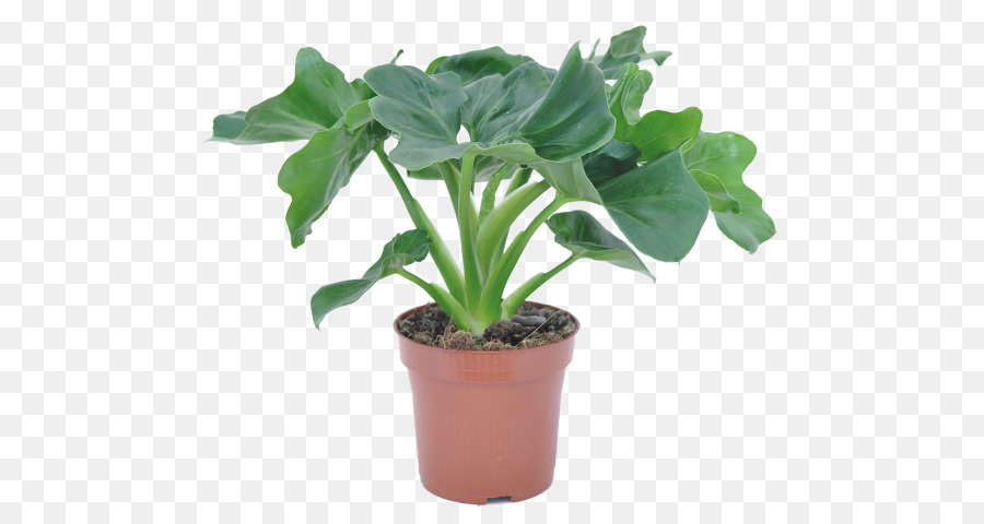 Philodendron Png - plant png download - 535*480 - Free Transparent Tree Philodendron ...