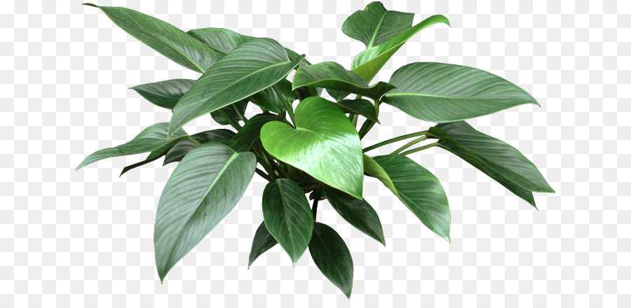 Philodendron Png - plant png download - 688*429 - Free Transparent Philodendron ...