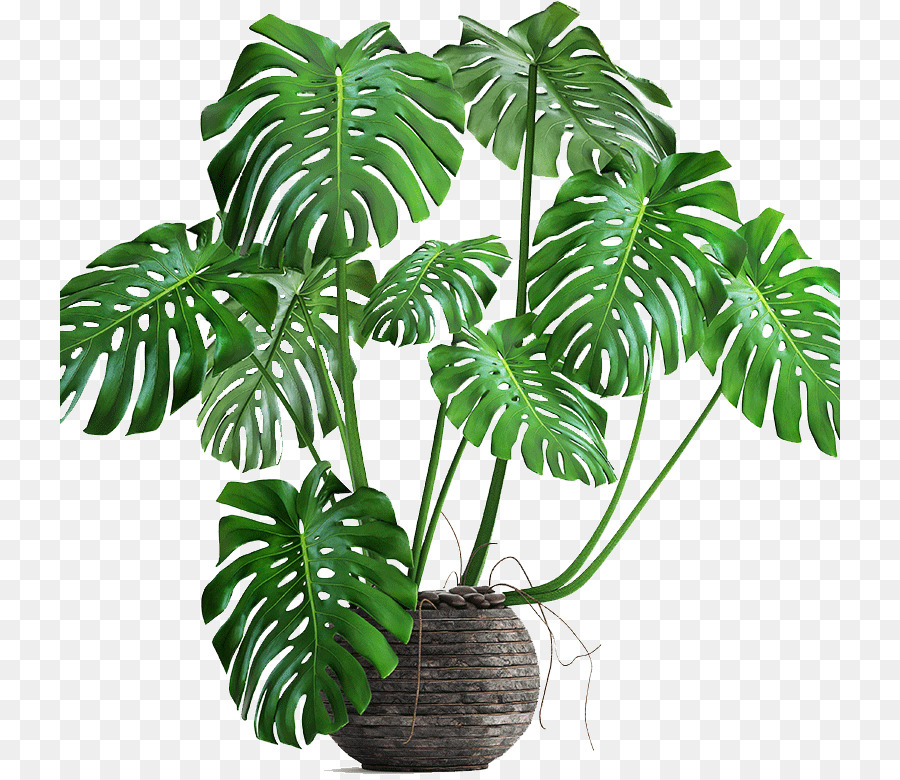 Philodendron Png - plant png download - 780*780 - Free Transparent Swiss Cheese Plant ...