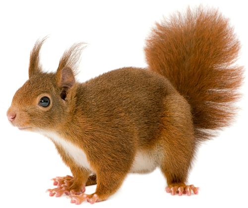 Squirrel Png - Png animal pinterest and. Squirrel .png clip art royalty free library