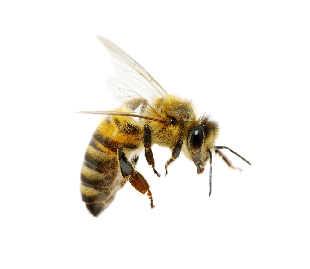 Honey Bee Png - PNG HD Bee Transparent HD Bee.PNG Images.   PlusPNG