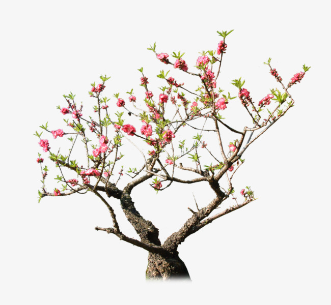 Flowering Peach Trees Png - PNG Peach Tree Transparent Peach Tree.PNG Images. | PlusPNG