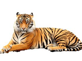 Baby Tiger Png & Free Baby Tiger.png Transparent Images ...
