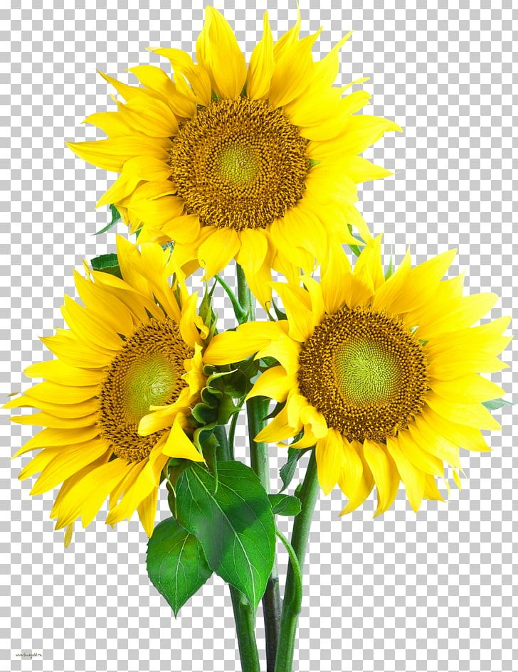 Common Sunflower Png - Portable Network Graphics Common Sunflower PNG, Clipart, Annual ...
