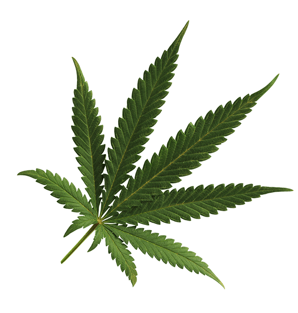 Cannabis Leaf Transparent Background - Pot Leaf Transparent Png (+) - Free Download | fourjay.org