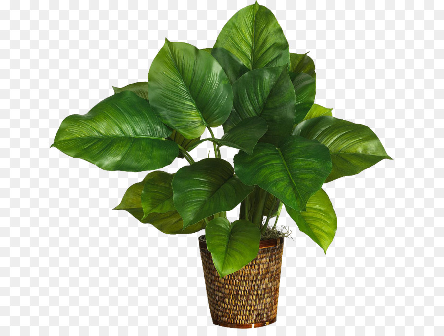 Philodendron Png - Potted plants png download - 699*665 - Free Transparent Albizia ...
