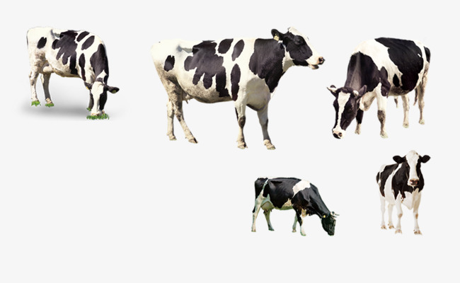 Grazing Cow Png - prairie cows, Dairy Cow, Grazing, Natural PNG and PSD