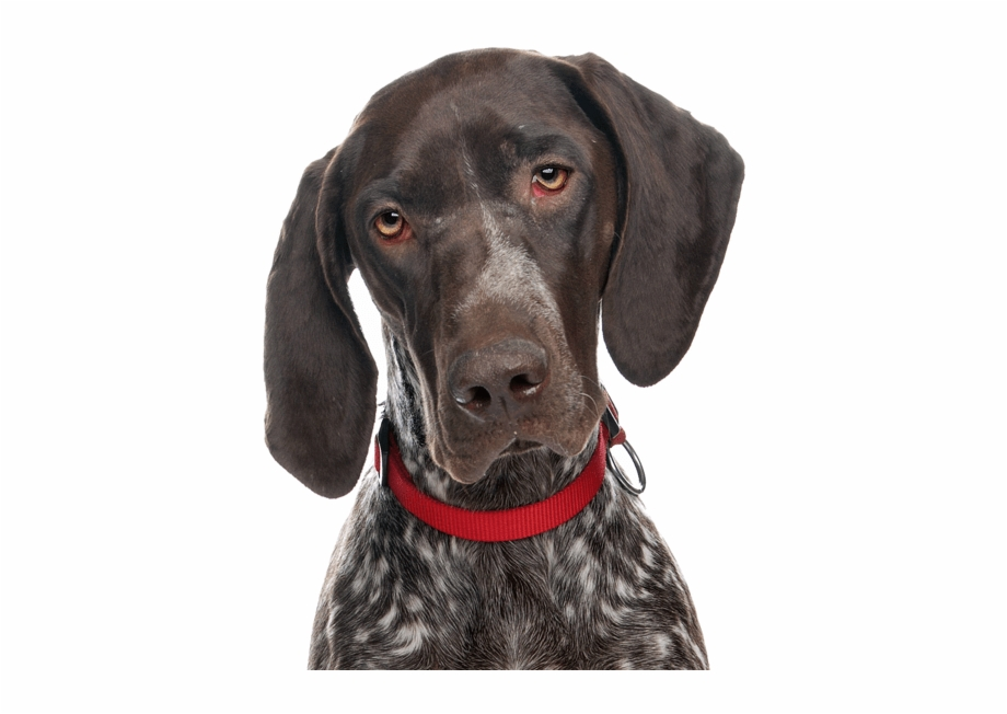 German Shorthaired Pointer Png - Puppies Dogs German Shorthaired Pointer - German Shorthaired ...