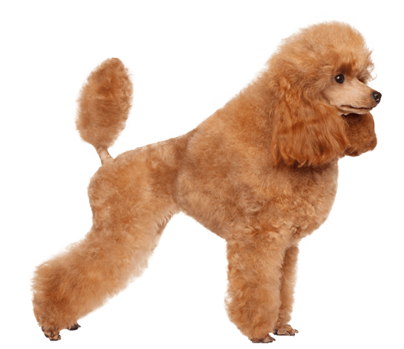 Puppy Clip Toy Poodle Clip Art Black And 53954 Png Images Pngio