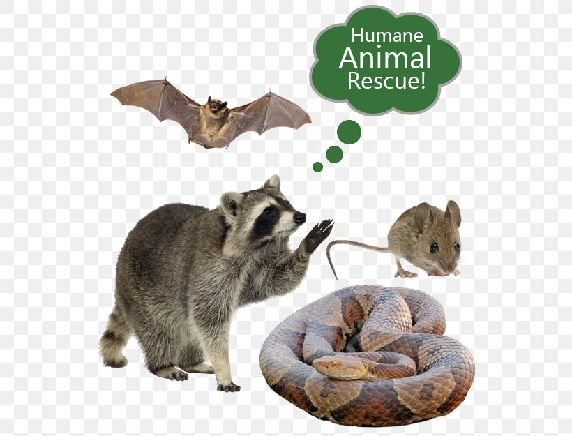 Nuisance Wildlife Management Png - Raccoon Nuisance Wildlife Management Pest Control Cockroach, PNG ...