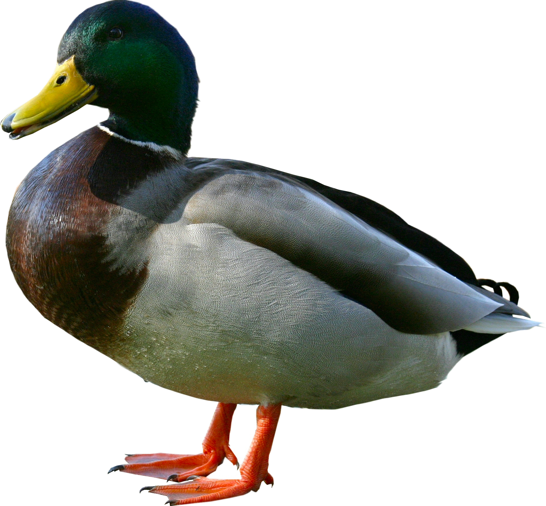 Picture Of Duck Png - Random duck.png