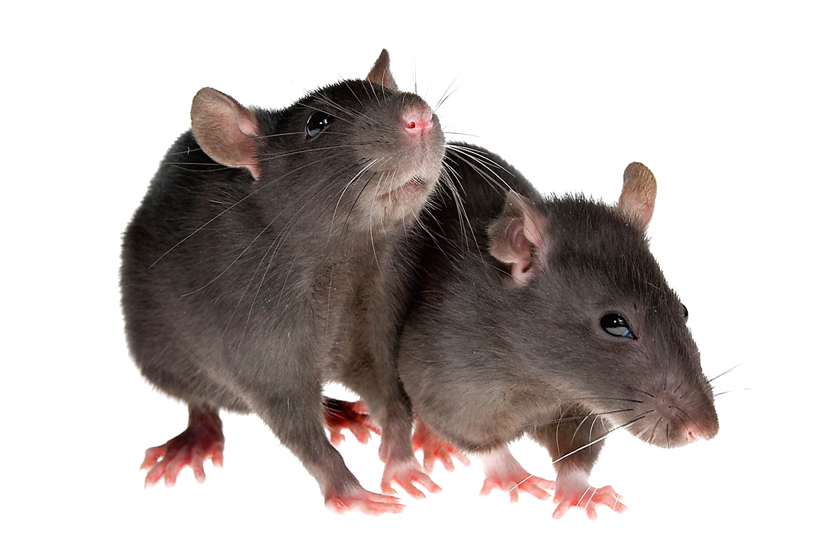 Rat Png - Rat PNG Image Transparent