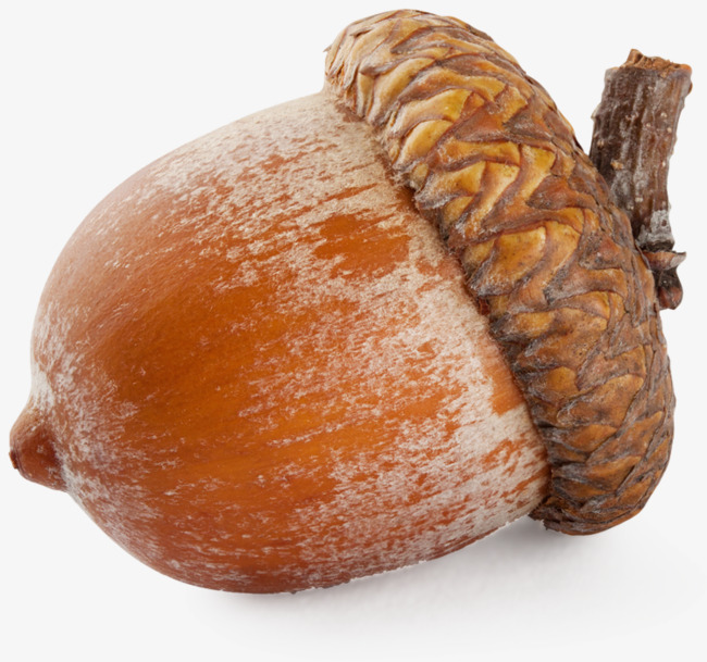 Acorn Png - real acorn, Acorn, Real, Nut PNG Image and Clipart