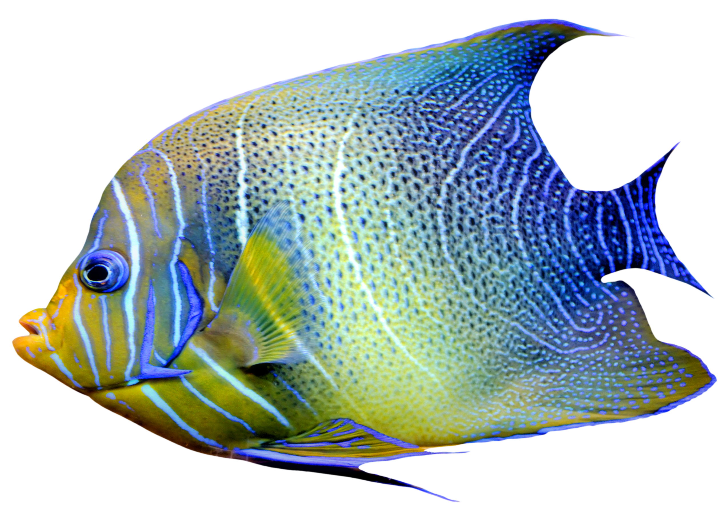 Fish Png - Realistic Fish Blue and Yellow PNG Clipart