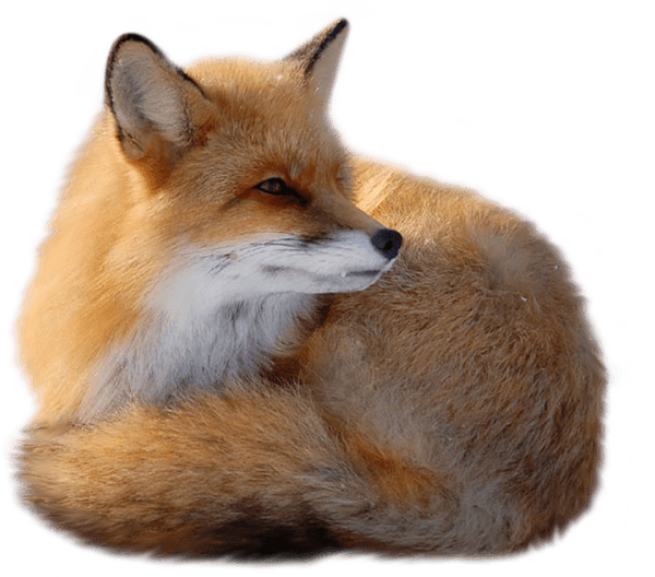 Red Fox Png - Red Fox PNG by yotoots on DeviantArt