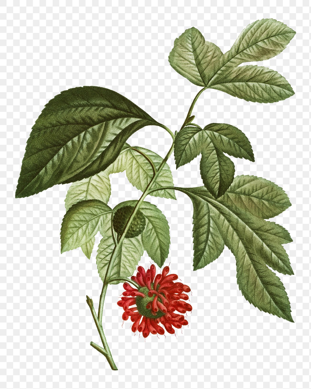 Paper Mulberry Png - Red Paper Mullberry flower | Free transparent png - 568058