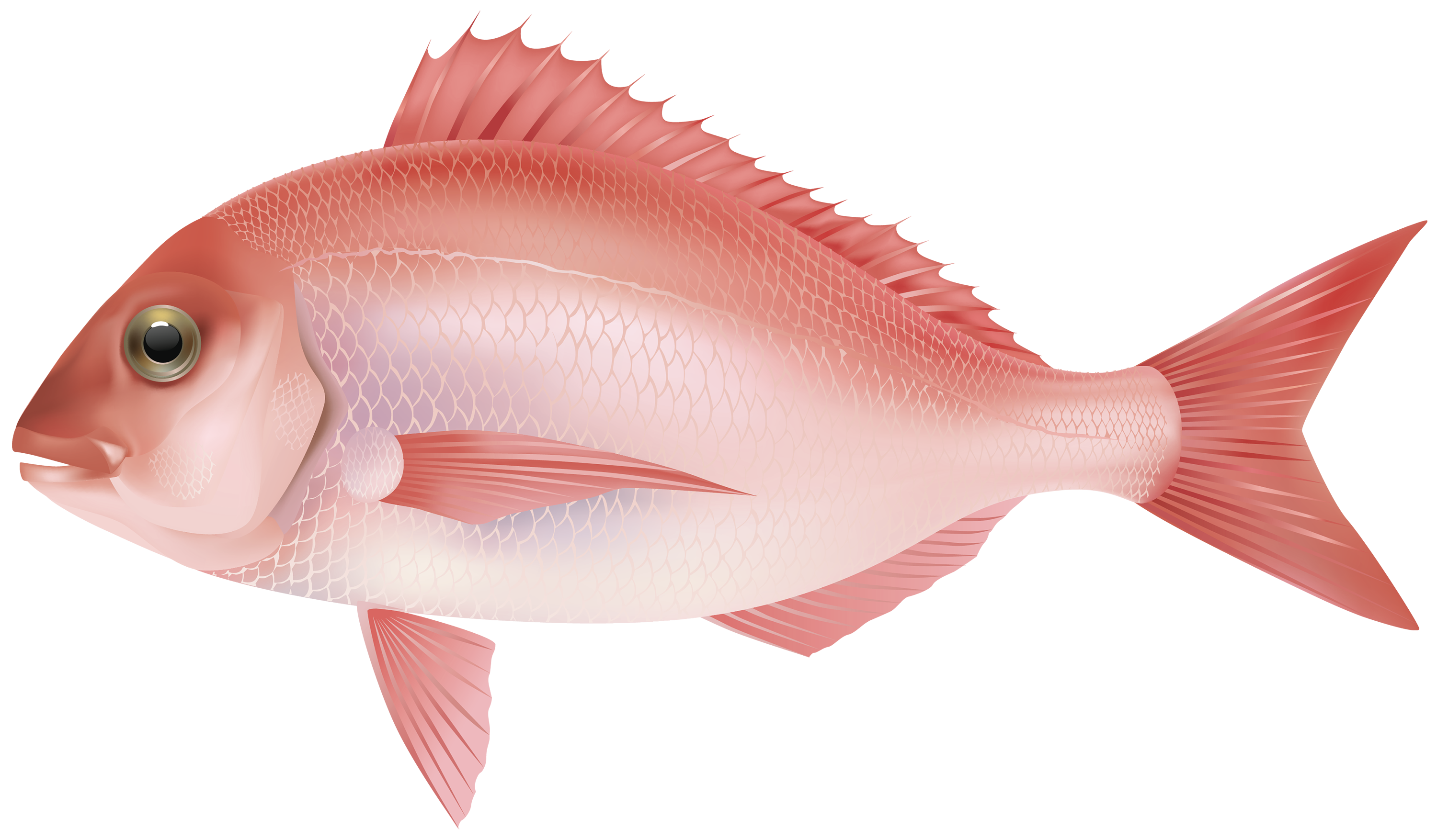 Fish Png - Red Sea Fish PNG Clipart Image