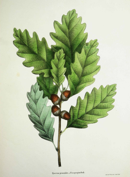 Chinkapin Oak Png - rhamphotheca: scientificillustration: Quercus prinoides, commonly ...