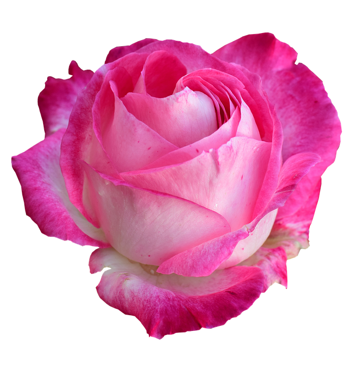 Tea Rose Png - Rose Bright Png On - Free photo on Pixabay