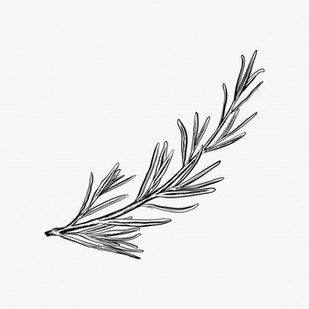 Rosemary Drawing Png Free Rosemary Drawing Png Transparent Images 115952 Pngio