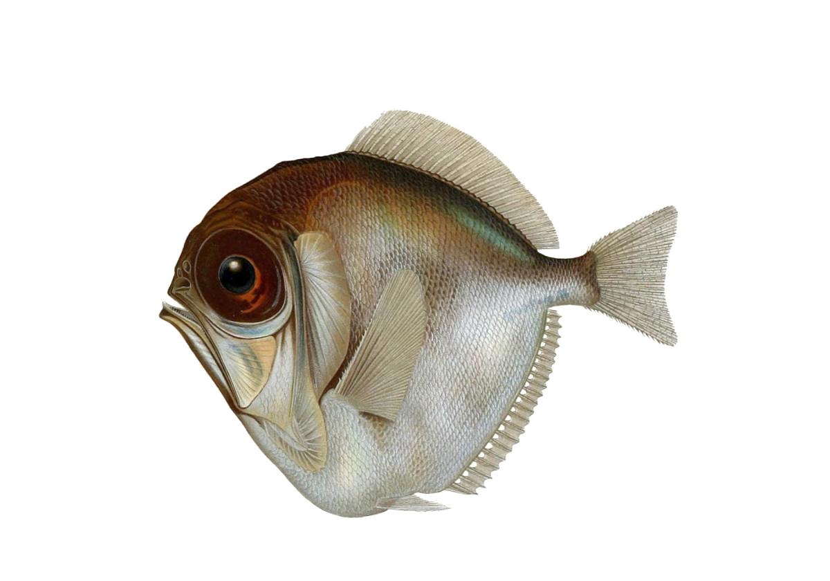 Deep Sea Fish Png - Sea Fish Png ,HD PNG . (+) Pictures - vhv.rs