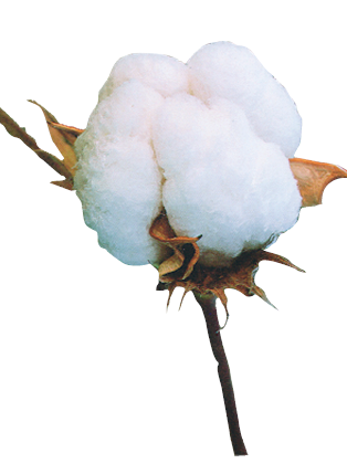Cotton Png - Seed cotton, fibre, seed and biomaterial made from cottonseed © Catherine  Marquié, CIRAD