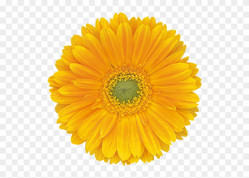 Festival Of The Flowers Png - Semi Double - Sunflower Panagbenga Festival Flowers, HD Png ...