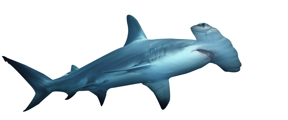 Requiem Shark Png - Shark,Fish,Requiem shark,Cartilaginous fish,Carcharhiniformes,Fin ...
