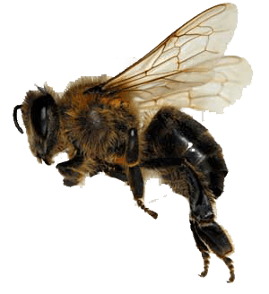Bee Png Transparent - Sideview Bee