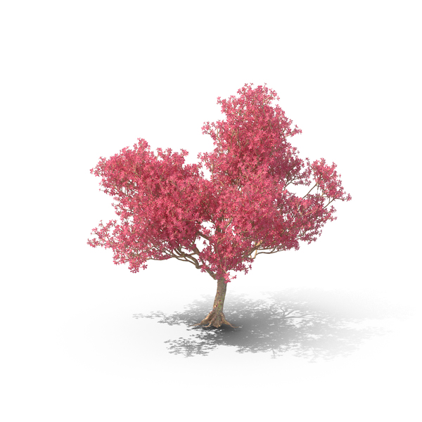 Silk Floss Tree Png - Silk Floss Tree PNG Images & PSDs for Download | PixelSquid ...