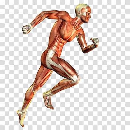 Leg Muscle Png - Skeletal muscle Muscular system Human body Running, others ...