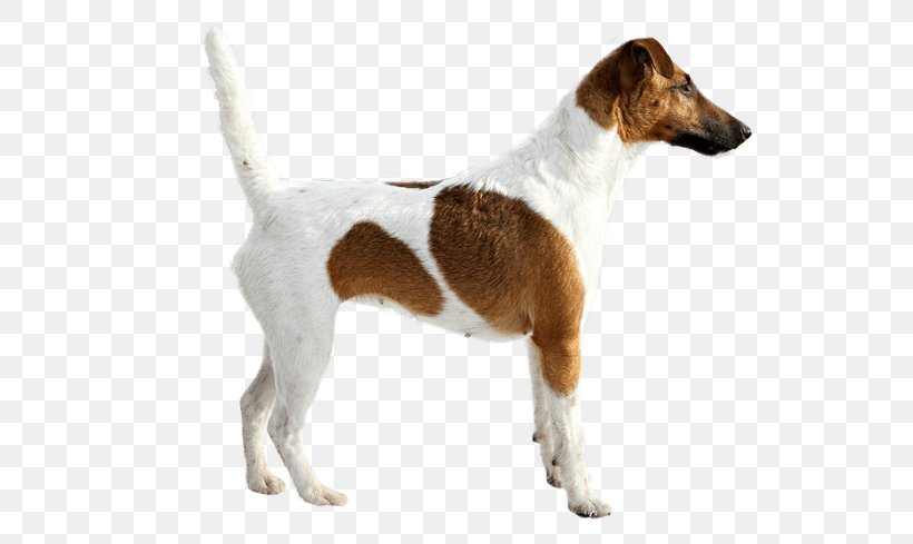 Fox Terrier Png - Smooth Fox Terrier Jack Russell Terrier English Foxhound Parson ...
