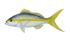 Yellowtail Snapper Png - Snapper (Yellowtail) Fishing: Species info, charters and ...