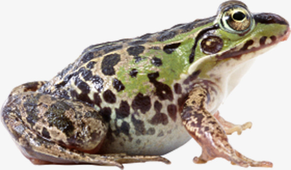 Brown Frog Png - spotted frog side, Frog Clipart, Brown, Big Eyes Frog PNG Image and Clipart
