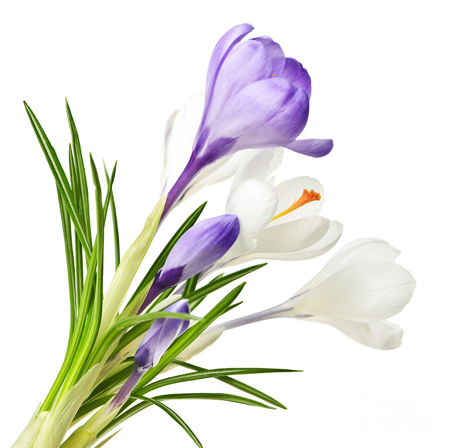 Spring Crocus Png - Spring Crocus PNG Clipart Picture - Clip Art Library