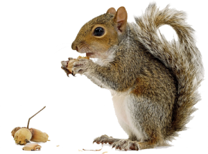 Squirrel Png - Squirrel PNG