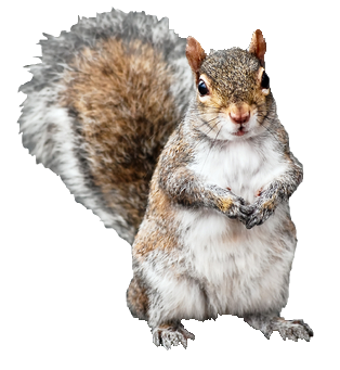 Squirrel Png - Squirrel.png